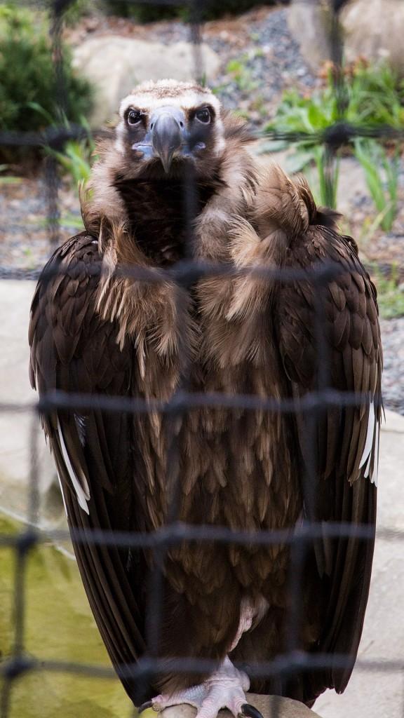 un vautour au zoo de Vincennes