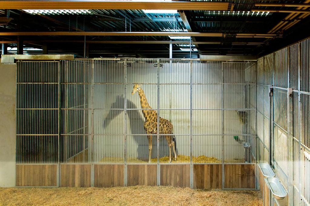 une-girafe-au-nouveau-zoo-de-vincennes