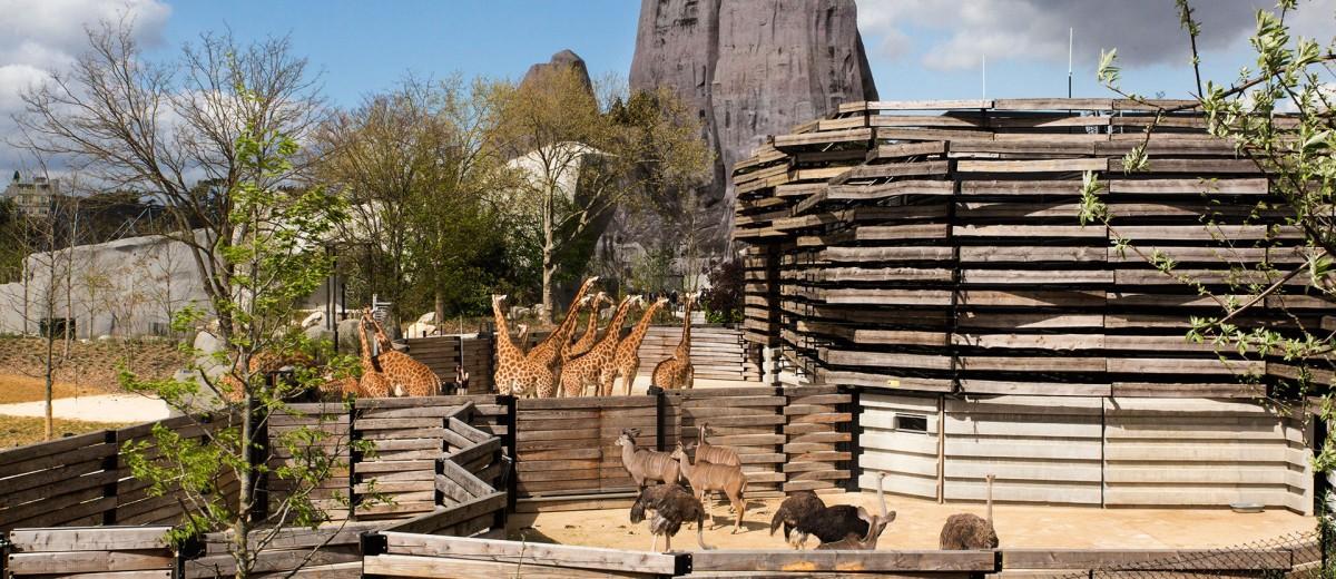 Au zoo de Vincennes les girafes découvrent leur nouvel environnement